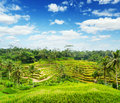 Nature rice terrace of bali island indonesia Royalty Free Stock Photography
