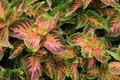 Nature s beauty makes an appearance in colorful variety of coleus plant evident one many varieties the gardener favorite ground Stock Image