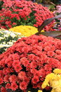 Nature s bounty in colorful bed of mums gorgeous scene mum plants grouped together landscaped garden Royalty Free Stock Image