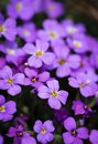 A group of small purple flowers Royalty Free Stock Photo
