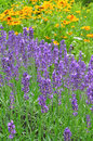 Nature Flowers Lavender