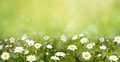Nature Summer Wallpaper with blossoming daisy Royalty Free Stock Photo