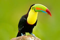 Nature travel in central America. Keel-billed Toucan, Ramphastos sulfuratus, bird with big bill. Toucan sitting on the branch in t Royalty Free Stock Photo