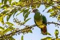 Nature wildlife image of Jambu fruit dove bird (Ptilinopus jambu) sitting on a branch in a rain forest Royalty Free Stock Photo