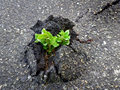 Nature wins tree vs asphalt outdoors photography of small sprout making the way through firm Royalty Free Stock Images