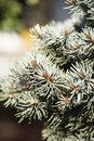 Sharp blue fir tree branches Royalty Free Stock Photo