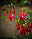 Natures beauty.  Fuchsias in sunlight. Royalty Free Stock Photo
