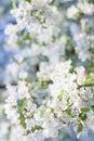 Naturfrühling Bouqet blühendes Holzapfel-Baum Stockbild