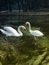 Naturlandschaft und schwan Stockfotografie