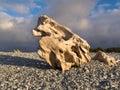 Natuurlijk gebeeldhouwd waterworn hout op kiezelsteenstrand Royalty-vrije Stock Foto