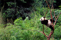 Naughty baby Panda Royalty Free Stock Photo