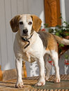 Naughty Beagle dog Royalty Free Stock Photos