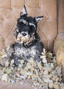 Naughty dog schnauzer puppy sitting on a couch that she has just destroyed Royalty Free Stock Images