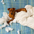 Naughty playful puppy dog after biting a pillow Royalty Free Stock Photography