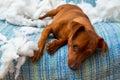 Nezbedný hravý šteňa pes po kousavý vankúš