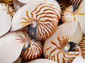 Nautilius shells Royalty Free Stock Image