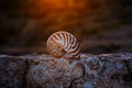 Nautilus seashell on rock with sunset Royalty Free Stock Photo