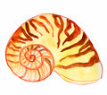 Nautilus seashell whatercolor illustration of nautilius Royalty Free Stock Photography