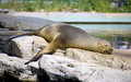 Navy seal vertebrate mammal carnivore seal zoo coat fish shellfish Stock Photography