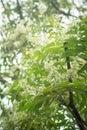 Ne em leaves and flowers or margosa flower in thailand Stock Image
