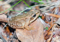 Nearly adult common frog rana temporaria in the nature Royalty Free Stock Photography