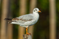 Nearly adult common gull european and asian subspecies Royalty Free Stock Photo