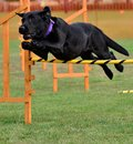 Nearly finished dog showing great agility nearing the finish line Stock Photo