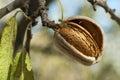 Nearly ripe almonds Royalty Free Stock Photo