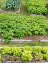 Neat raised beds of potatoes cauliflower broccoli and lettuce as assortment of different home grown fresh vegetable plants in Royalty Free Stock Photo