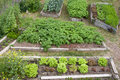 Neat raised beds of potatoes cauliflower broccoli lettuce carrots and parsnip as assortment of different home grown fresh Stock Image