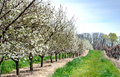 Neat rows of flowering cherry trees and grape vines Royalty Free Stock Photo
