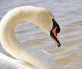 Neck and head of swan close up Royalty Free Stock Images