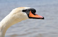 Neck and head of swan water drop on the beak Royalty Free Stock Photography