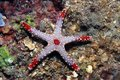 Necklace sea star fromia monilis in the coral reef Royalty Free Stock Photography