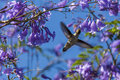 Nectar bird the flying in purple blossom Royalty Free Stock Photo