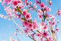 Nectarine blossom in spring annapolis valley nova scotia canada Stock Photos