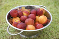 Nectarines in a rinse strainer on grass Royalty Free Stock Photography