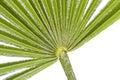 Needle Palm Macro Royalty Free Stock Photo