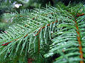 Needles Of A Fir-tree Stock Photos
