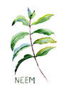 Neem leaves original watercolor illustration Royalty Free Stock Photography