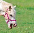 Neighing horse portrait of with bridle Stock Photography