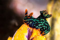 Nembrotha kubaryana, Nudibranch, Sea Slug Royalty Free Stock Photo