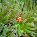 Nemo, Clown fish Royalty Free Stock Photo