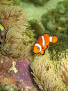 Nemo the clownfish Stock Photo
