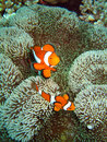 Nemo the clownfish Royalty Free Stock Images