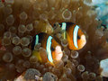 Nemo couple Royalty Free Stock Photos