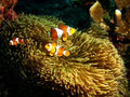 Nemo family anemonefish in front of their anemone home andaman sea thailand Stock Images