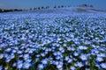 Nemophila flower field in full bloom, Japan Royalty Free Stock Photo