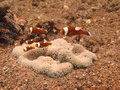 Nemos school of clown fish under the water Royalty Free Stock Photography