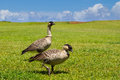 Nene birds a pair of gooses the hawaii s state bird Royalty Free Stock Image